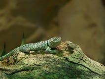串珠的蜥蜴 免版税库存图片