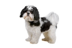 临时工混合的品种狗 免版税库存图片