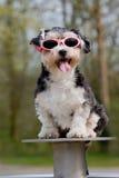 临时工狗一点太阳镜佩带 免版税库存照片