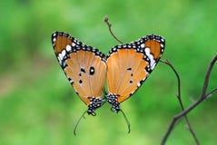 丹尼亚斯chrysippus或简单老虎蝴蝶联接 图库摄影