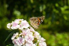 丹尼亚斯genutia,共同的老虎坐花在庭院里 特写镜头宏指令称呼了储蓄摄影五颜六色 库存图片