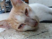 丹尼斯最懒惰的猫在世界上 库存照片