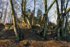 丹麦山毛榉森林在冬天 免版税图库摄影