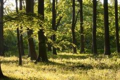 丹麦山毛榉森林在夏天 免版税库存图片