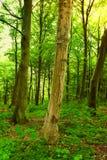 丹麦早期的森林早晨 免版税库存图片