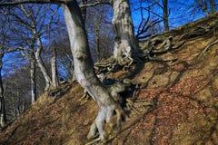 丹麦森林倾斜 免版税库存照片