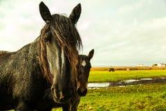 从丹麦的黑白花的马 免版税库存照片