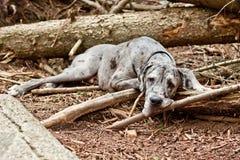 丹麦种大狗休息 库存图片