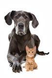 丹麦种大狗和一只红色小猫 免版税图库摄影