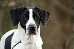 丹麦种大狗和尖混合了品种狗画象 免版税库存照片