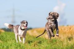 丹麦种大狗小狗和跑在国家道路的澳大利亚牧羊人 库存照片