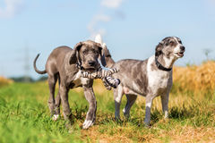 丹麦种大狗小狗和跑在国家道路的澳大利亚牧羊人 免版税库存照片
