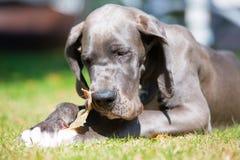 丹麦种大狗小狗在草坪说谎并且嚼在猪` s耳朵 库存照片