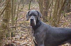 丹麦种大狗年轻人 库存图片
