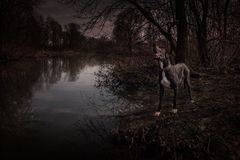 丹麦种大狗狗鬼走的室外的万圣夜 免版税图库摄影