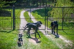 丹麦种大狗狗 免版税库存照片