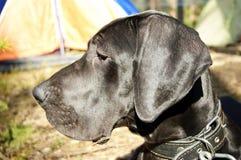 丹麦种大狗的小狗露天 免版税库存照片