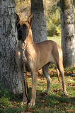 丹麦种大狗 免版税图库摄影