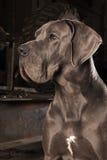 丹麦种大狗 免版税库存图片