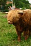 丹麦语的牛 免版税库存图片