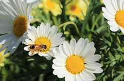 为一只蜂工作在一个晴天 免版税图库摄影