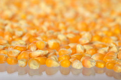 为做玉米花用的干玉米堆  库存照片