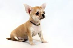 为冒险准备!-在白色背景的微型奇瓦瓦狗小狗 库存照片