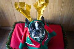 为圣诞节穿戴的狗 免版税库存图片