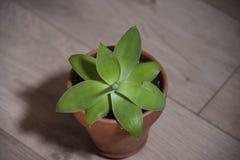 为室内装饰加那利群岛裔注定的绿色植物 免版税库存照片
