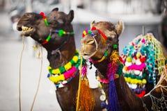 为市场装饰的两头骆驼。Pushkar,印度 免版税库存图片