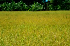 为收获准备!!成熟粮食作物的稻田在阳光下 免版税库存照片