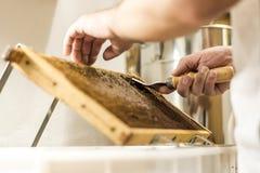 为收获非常有趣的蜂蜜特写镜头开盖的蜂窝开放unwaxing的叉子蜂农 免版税图库摄影
