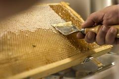 为收获非常有趣的蜂蜜特写镜头开盖的蜂窝开放unwaxing的叉子蜂农 库存照片