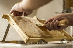为收获非常有趣的蜂蜜特写镜头开盖的蜂窝开放unwaxing的叉子蜂农 库存图片