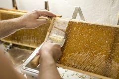 为收获非常有趣的蜂蜜特写镜头开盖的蜂窝开放unwaxing的叉子蜂农 免版税库存照片
