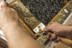 为收获非常有趣的蜂蜜特写镜头开盖的蜂窝开放unwaxing的叉子蜂农 免版税库存图片