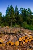 为木材产业击倒的杉树在特内里费岛 免版税库存照片