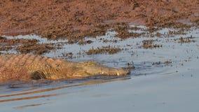 去为游泳的尼罗鳄鱼 免版税库存图片