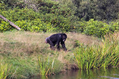 去为游泳的猴子 图库摄影