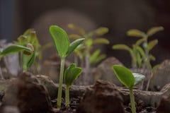 为种植发芽的微小的绿色幼木 免版税库存照片