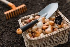 为种植存放在箱子和执行的郁金香和黄水仙电灯泡 免版税库存照片