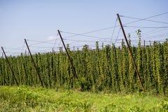 为领域的啤酒厂耕种的蛇麻草 免版税库存图片