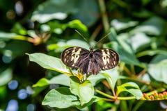 为飞行保持平衡的黑和黄色蝴蝶 图库摄影