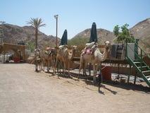 为骆驼徒步旅行队做准备 免版税图库摄影