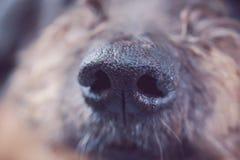 为鼻子狗射击的特写镜头 图库摄影