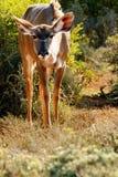 为什么-更加伟大的Kudu -非洲羚羊类弯角羚类 免版税图库摄影