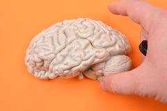 为从前的一个3D人脑模型的准备照相 免版税库存图片