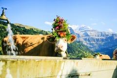 为Aelplerfest装饰的母牛 图库摄影