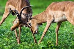 为dominanace的飞羚领土战斗 免版税库存照片