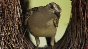 主要人造物和希望的伟大的园丁鸟修造汇集在汤斯维尔,澳大利亚将打动一位参观的女性 免版税库存图片